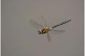 Migrant-Hawker-Dragonfly-by-Sue-Vernon