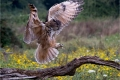 Eagle-Owl-by-Mal-Ogden