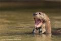 Giant Otter by Jenny Webster