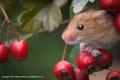 Harvest Mouse by Michael McIlvaney