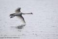 Mute Swan by Julie Bridgwater