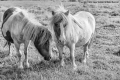 Shetland Ponies by Jenny Webster