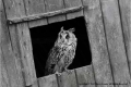 1-Long-Eared-Owl-in-the-Chicken-Coupe