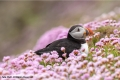Puffin in Pink Sea Thrift by Julie Hall