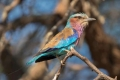 Lilac-Breasted-Roller-by-Roger-Tyler
