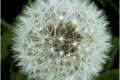 Dandelion-Seed-Head-by-Sheila-Billingham