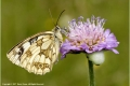 Female-Marbled-White-on-Wild-Scabia-by-Barry-Green