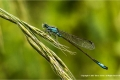 Blue-Tailed-Damselfly-by-Barry-Green