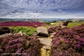 English-Heather-by-Jan-Harris