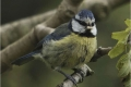 Blue-Tit-with-grub-by-Sheila-Billingham