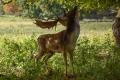 Fallow-Deer-by-Julie-Bridgwater