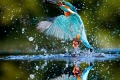 Kingfisher-Alcedo-atthis-by-Richard-Chapman