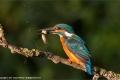 Kingfisher-by-Jennifer-Webster