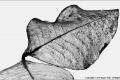 Leaf-Skeleton-by-Roger-Tyler