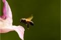 Bee in Flight by Rebekah Nash