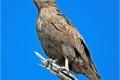 Brown Snake Eagle by Pat Billyard