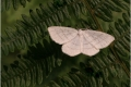 Common Whitewave Moth by Jill Howe