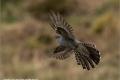 Cuckoo in Flight in the Rain by Jenny Webster