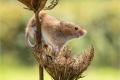 Harvest Mouse by Julie Hall
