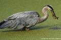 Grey-Heron-Catch-by-Jenny-Webster