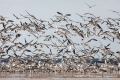 Black-Skimmers-White-Pelicans-by-Richard-Chapman