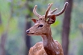 Male-Cheetal-Deer-by-Jenny-Webster