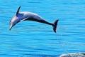 Bottlenose-dolphin-by-Pat-Billyard