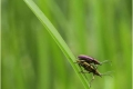 Common-Reed-Beetles-mating-by-Sheila-Billingham