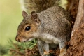 Grey-squirrel-by-Sue-Davis