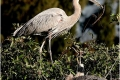 Great-Blue-Herons-Nest-Building-by-Alan-Fackrell
