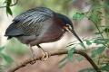 Green-Heron-by-Jan-Harris
