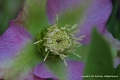 Hellebore-by-Derek-May