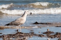 Juvenile-yellow-legged-gull-by-Julie-Hall