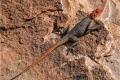 African-Lizard-by-Roger-Tyler