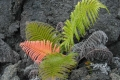Fern-in-Lava-Rock-by-Les-Coombes