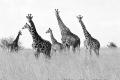 A-Tower-of-Giraffe-by-Jenny-Webster