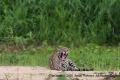The-Jaguar-2-by-Jenny-Webster