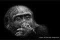 Gorilla-portrait-by-Jenny-Webster
