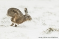 Brown Hare in Snow by Jenny Webster