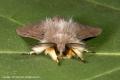 Muslin-Moth-by-Roger-Tyler