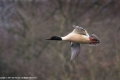Goosander-by-Sue-Vernon