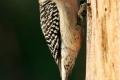 Red-Bellied-Woodpecker-by-Richard-Chapman
