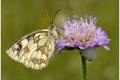 BG.Marbled-White-on-Wild-Scabius