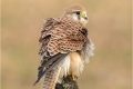 Kestrel - Female with Ruffled Feathers by Julie Hall