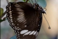 great-common-eggfly