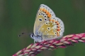 C_2-BROWN-ARGUS-BUTTERFLY-MALE-UNDERSIDE