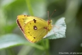 C_clouded-yellow