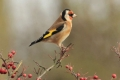 C_goldfinch