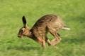 C_running-hare