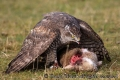 goshawk_with_rabbit_kill